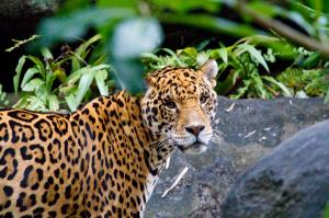 Catch a glimpse of jaguars in Brazil. Photo courtesy of Wild Planet Adventures
